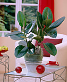 Ficus elastica 'Robusta' (rubber tree)