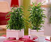 Dracaena reflexa 'lucky bamboo' in various forms
