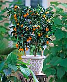 Citrus fortunella (kumquat) at the trellis