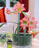 Amaryllis flowers in glass with field horsetail as plug-in aid