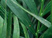 Strong louse infestation of Howea (Kentia palm)