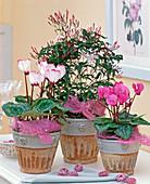 Cyclamen persicum (cyclamen, Jasminum polyanthum