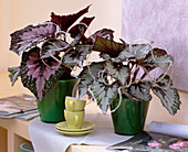 Begonia 'Merry Christmas' and 'Happy New Year' (Rex Begonia)