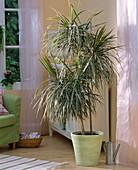 Dracaena marginata 'Tricolor' (Dragon Tree)