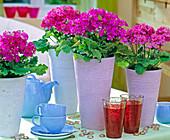 Primula malacoides (lilac primrose) in pastel-colored vases