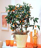 Fortunella japonica (Kumquat)