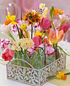 Tulipa (tulip), Narcissus 'Jetfire', 'Ziva' and 'Bridal Crown'