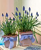 Muscari armeniacum (grape hyacinths) in 4-cornered clay pots