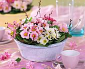 Primula acaulis (spring primrose), betula (moor birch), hyacinth