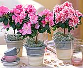 Azalea, Rhododendron simsii (room azalee) as a miniature dormouse