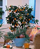 Fortunella japonica (Kumquat), Rosmarinus officinalis (rosemary)