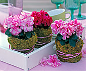 Azalea = Rhododendron simsii, pots with moss