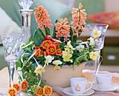 Hyacinthus 'Gipsy Queen' (Hyacinth), Primula acaulis 'Cottage'