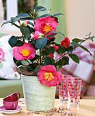 Camellia 'Barbara Morgan' (Camellia)
