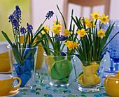 Narcissus 'Tete a tete' daffodils, Muscari armeniacum grape hyacinth
