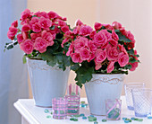 Begonia Elatior (begonia in light blue pots)