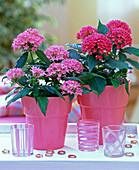 Pentas lanceolata (star of Egypt) in pink pots