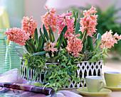 Hyacinthus orientalis 'Gipsy Queen' hyacinths, Hedera 'Goldstern'