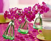 Primula malacoides (lilac primrose) in swinging vases