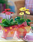 Gerbera rosa und hellgelb mit Rupfenschleifen