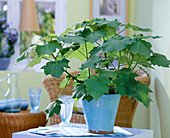 Sparmannia africana (room sage) in blue pot