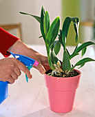 Oncidium Orchid, the spray bottle replaces the tropical rain