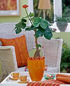 Jatropha podagrica in orange vase, orange wooden beads