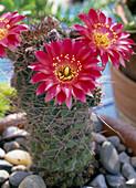 Echinocereus (cereus cactus)