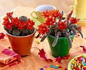 Echinopsis, Echinocereus (Flowering cactuses) in glass pots)
