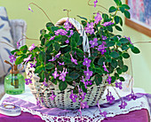 Streptocarpus saxorum in a white handle basket