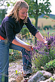 Lavender harvest, young woman cutting Lavandula to dry
