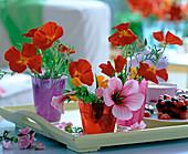 Eschscholzia 'Diabolo', 'Sun Shades' (California Poppy)