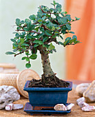 Carmona macrophylla (room bonsai) in blue bowl