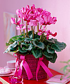 Cyclamen (cyclamen) with flamed flowers, sisal pot with felt bows