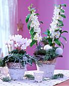 Dendrobium (Orchid), Cyclamen 'Libretto white with eye' (Cyclamen)