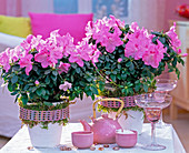 Rhododendron simsii 'Mont Ventoux' (Room Azalea)