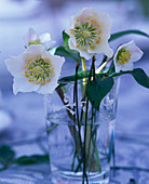Helleborus (Christmas roses, Pinus (pine) needles in glass