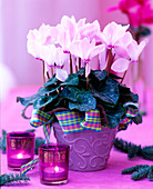 Cyclamen Concerto 'Pink with Eye' cyclamen, glass with tea lights