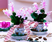 Schlumbergera 'Witte Eva' (Christmas cactus) in Christmas cups