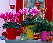 Cyclamen 'Canto Deep Rose', 'Concerto Rose Pink' Cyclamen, Polystichum