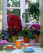 Rhododendron simsii (fatsi)