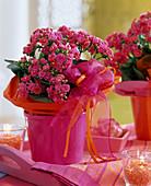 Kalanchoe Calandiva 'Cerise pink'