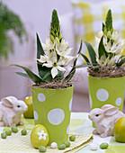 Ornithogalum arabicum (Arabian starflower) in green pots