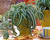 Chlorophytum 'Bonnie' (lockige Grünlilie)