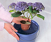 Hydrangea (hydrangea) dive