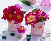 Primula acaulis (spring primrose