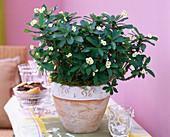 Euphorbia milii (weißer Christusdorn)