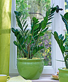 Zamioculcas zamiifolia in the green pot