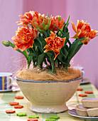 Tulipa 'Orange Princess' (tulip) blooming