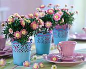Argyranthemum Daisy Crazy 'Crowned Rose' (Marguerite)